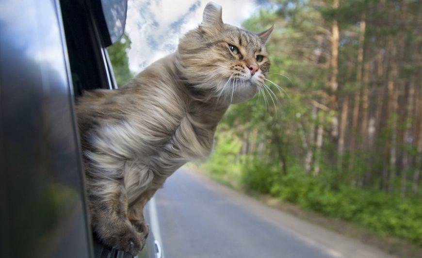 Já pensou em passear com seu gato? Confira dicas para um rolê seguro e divertido