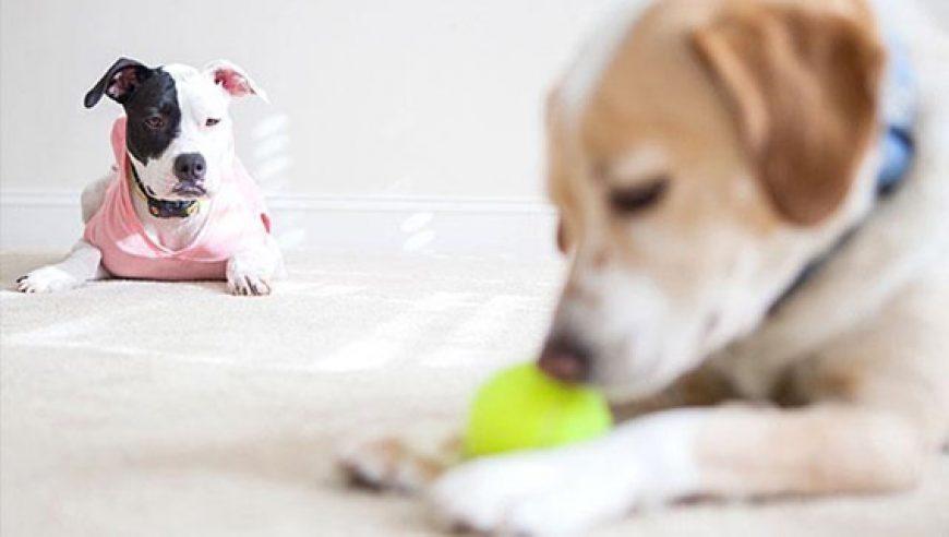Como controlar o ciúme do seu cão!