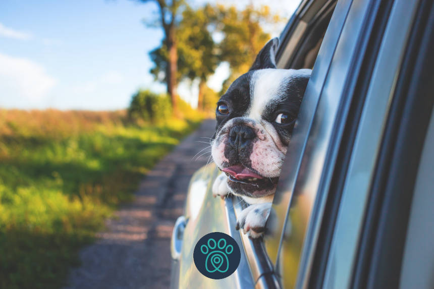 PETDRIVER white and black short coat puppy on black window car 134392 1