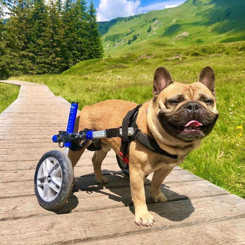 Pets com necessidades especiais: como cuidar do bem-estar de animais com deficiências?